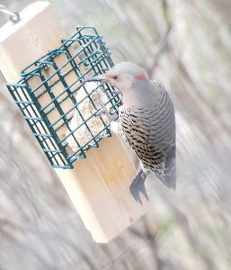 Northern Flicker from behind at suet