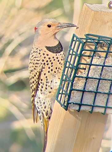 Northern Flicker in evening at suet cake