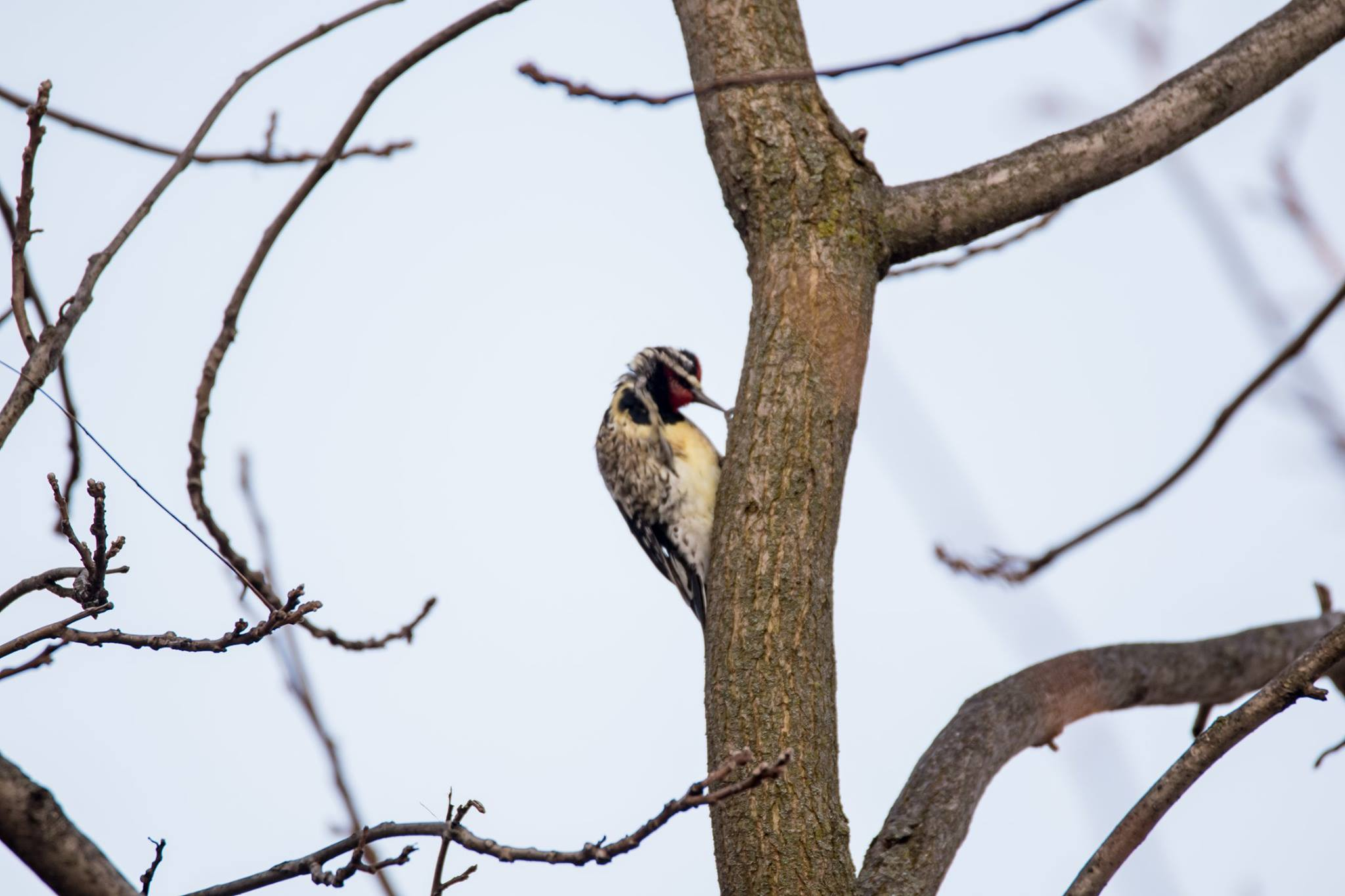 Woodpecker in tree