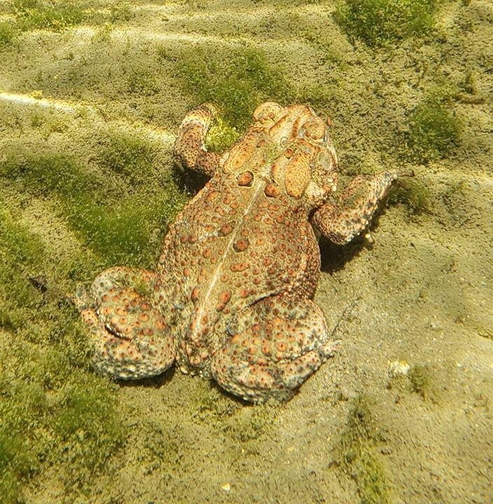 American toad underwater
