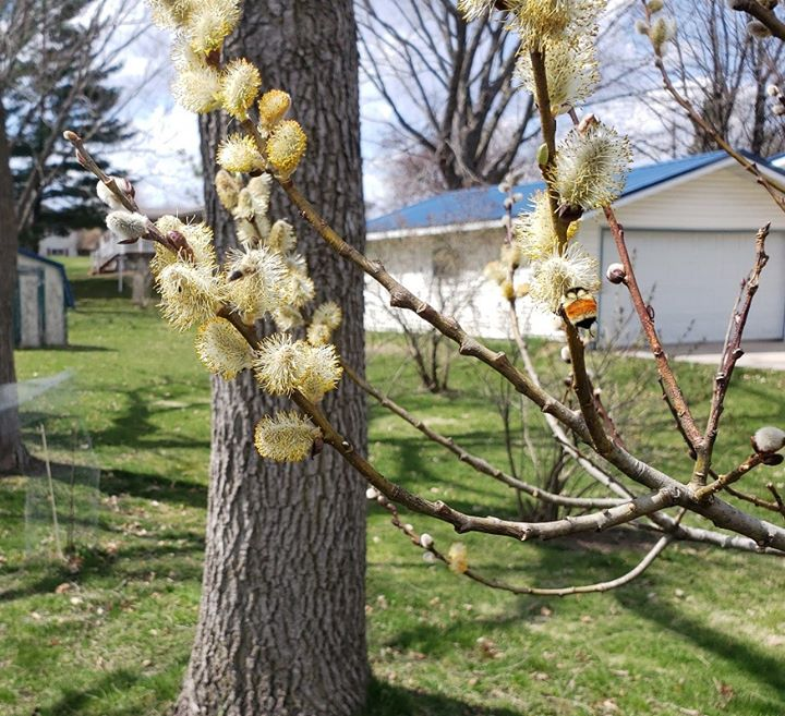 Pussy willow catkins by Dave Krier