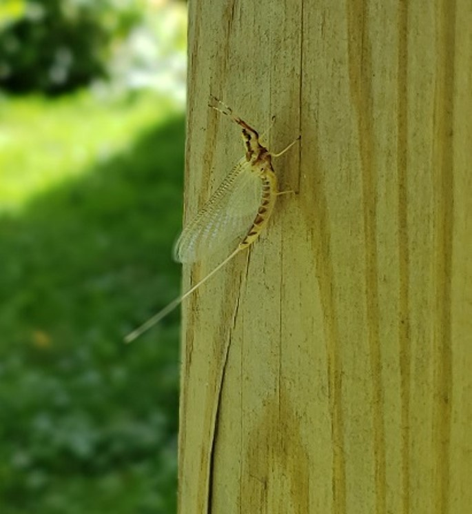 Mayfly on post by Dave Krier