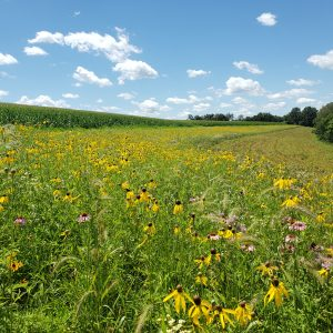 Prairie strip in bloom