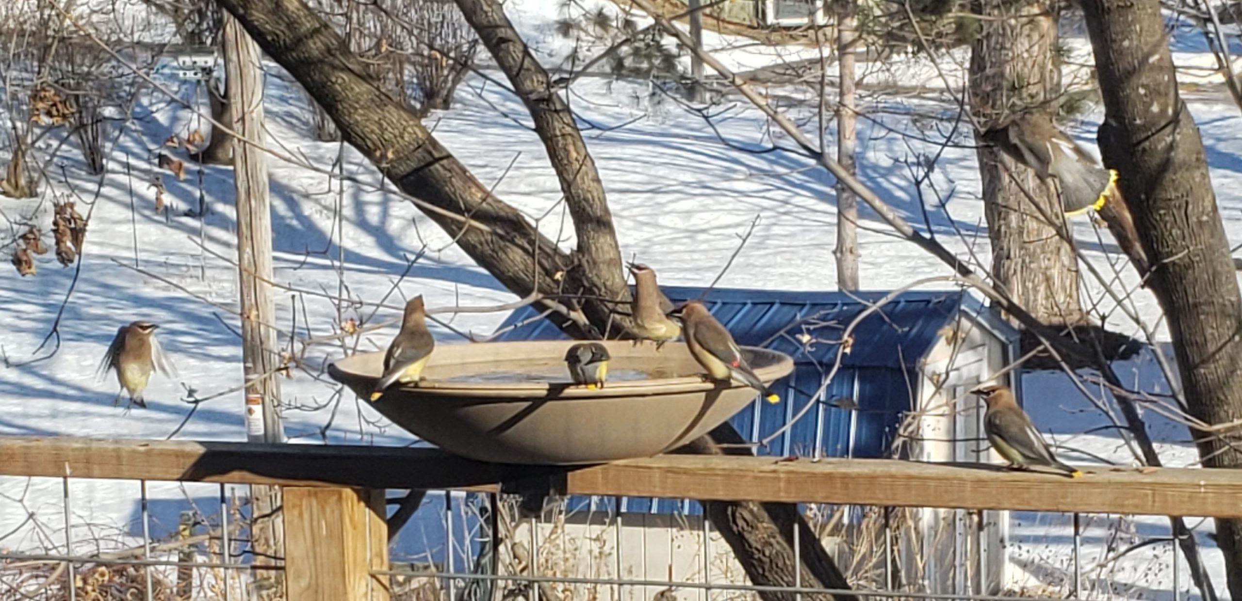 Cedar waxwings and robin at March birdbath