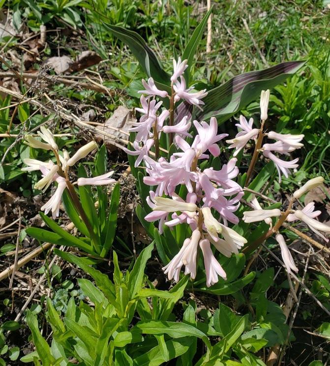 A hyacinth in bloom