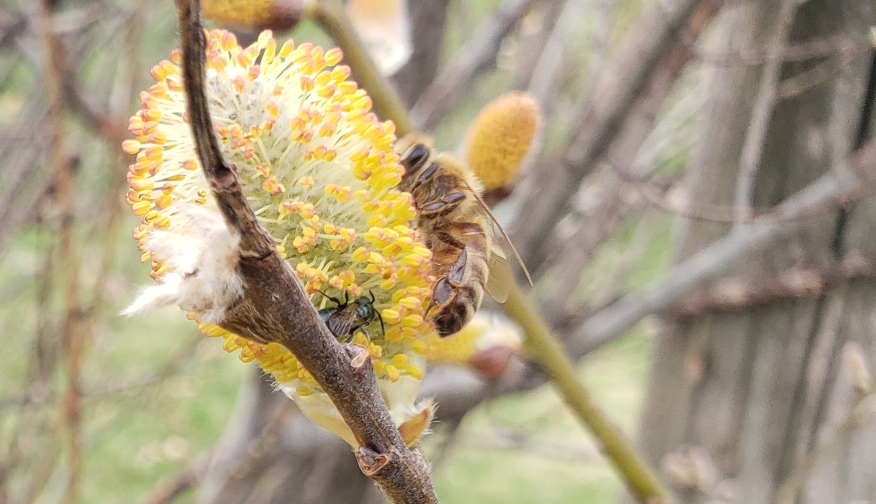 honey and small carpenter bees on pussy willow flower