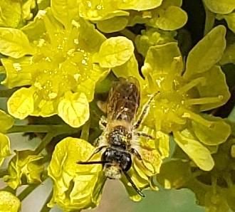 Bee on maple tree flower