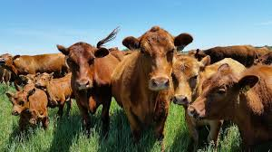 Herd of cows looking at camera