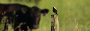 cow looking at bobolink
