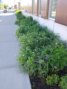 Closeup of native plantings along library